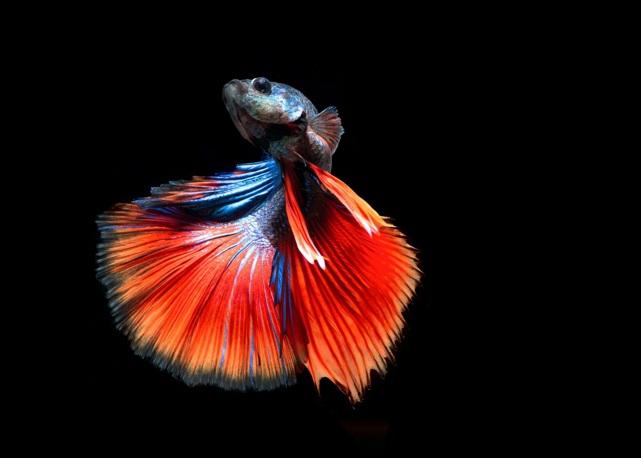 fighter fish hd wallpaper download