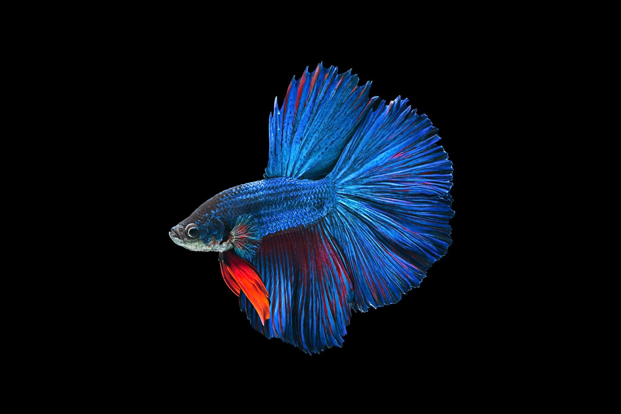 betta siamese fighting fish underwater tropical psychedelicbetta siamese fighting fish underwater tropical psychedelic wallpaper 2000x1333 918309 wallpaperup