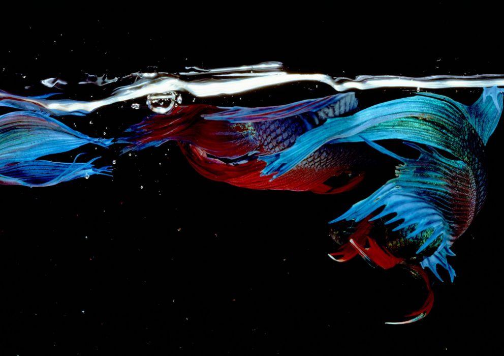BETTA Siamese Fighting Fish underwater tropical psychedelic wallpaper