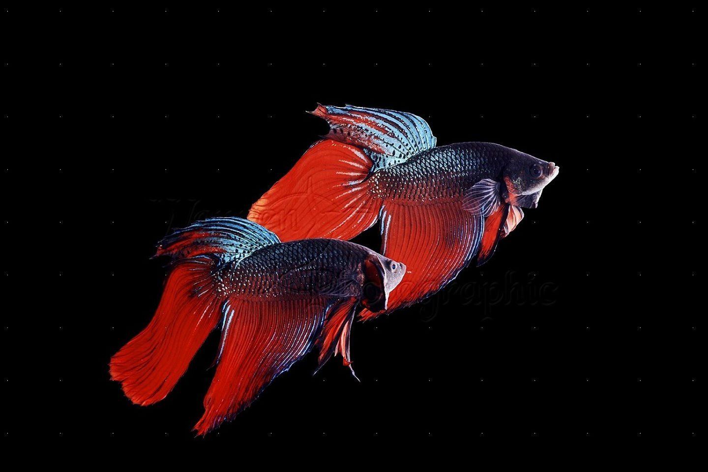 Betta siamese fighting fish underwater tropical for What fish are compatible with betta fish