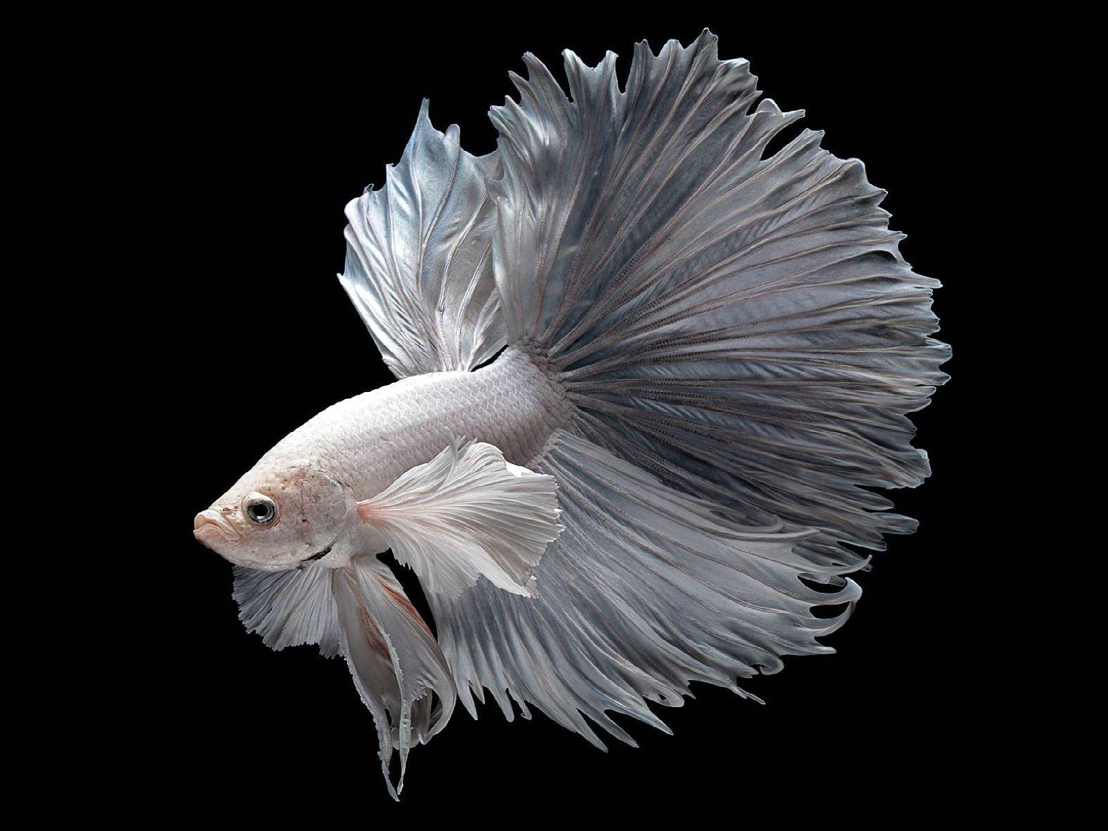 Betta siamese fighting fish underwater tropical for Betta fish size