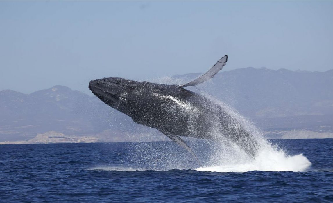WHALE whales fish underwater ocean sea sealife wallpaper