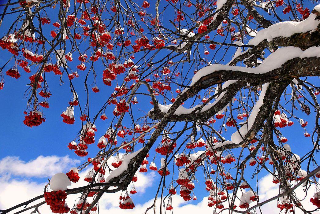 sky tree berries mountain ash snow wallpaper