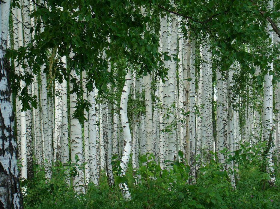 birch nature foliage grove wallpaper