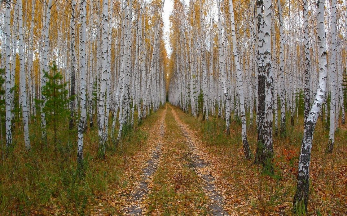 forest road foliage birch crown wallpaper