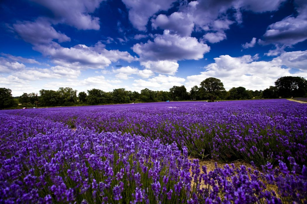 field flowers lavender trees sky clouds wallpaper