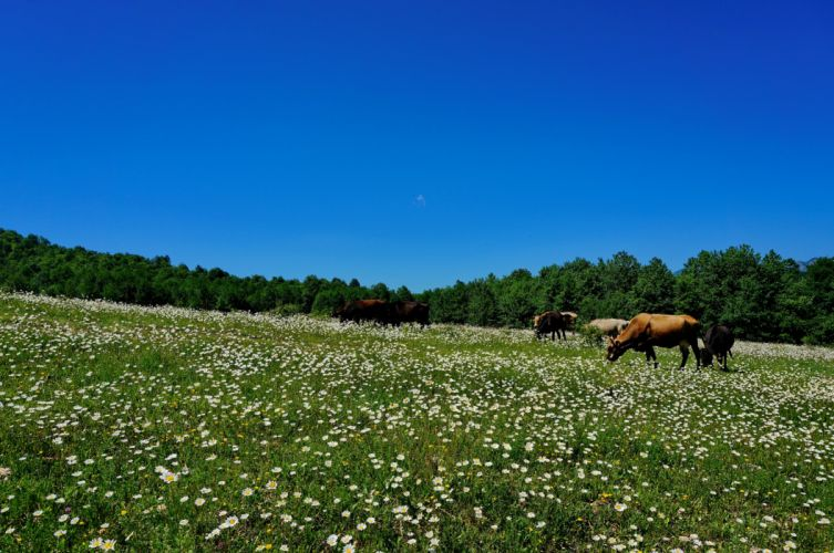 meadow pasture cow animals summer sky flowers wallpaper