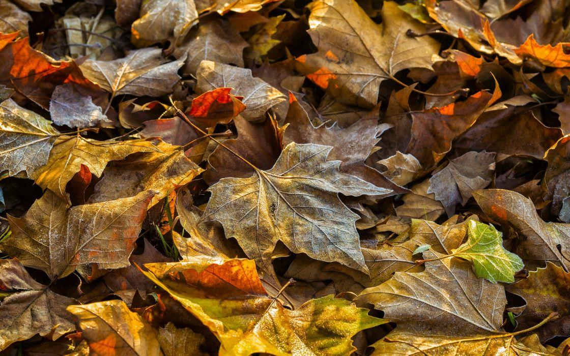 Closeup Foliage Dry Maple Nature autumn leaf wallpaper
