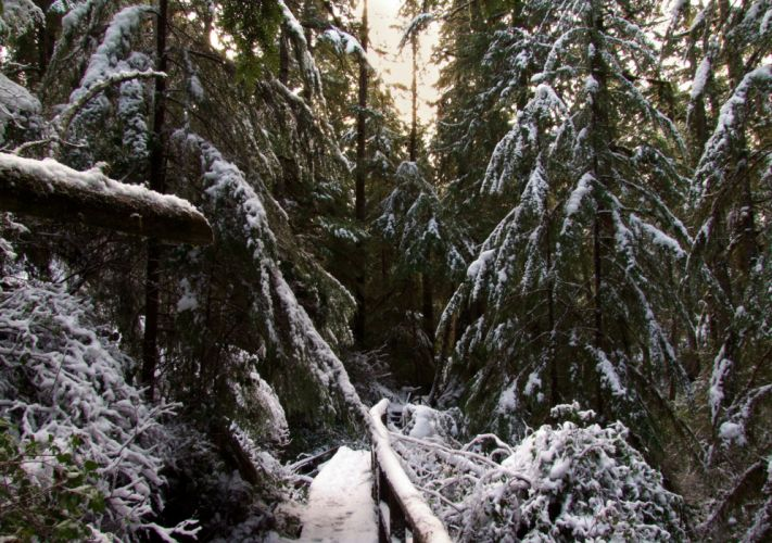 Canada Forests Winter Fir Snow Forest Ucluelet Nature wallpaper