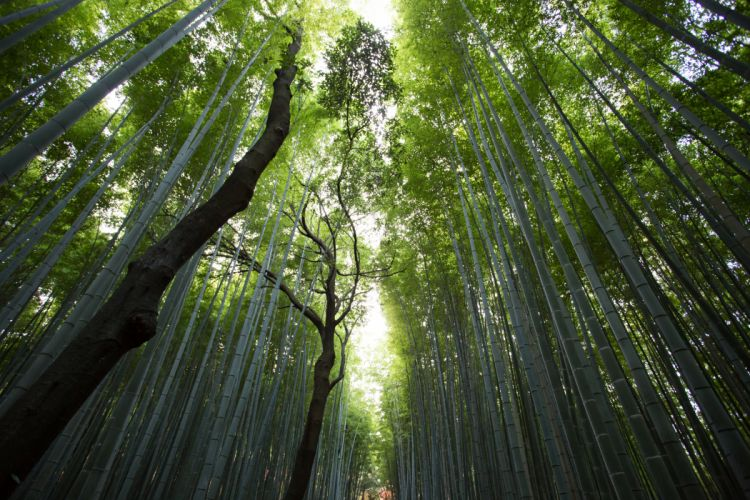 Bambusoideae Trees Nature forest banboo wallpaper