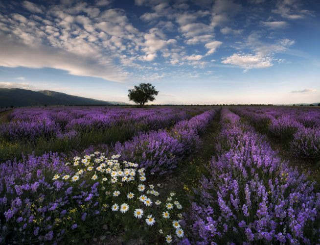 Fields Lavandula Scenery Sky Camomiles Nature Flowers wallpaper