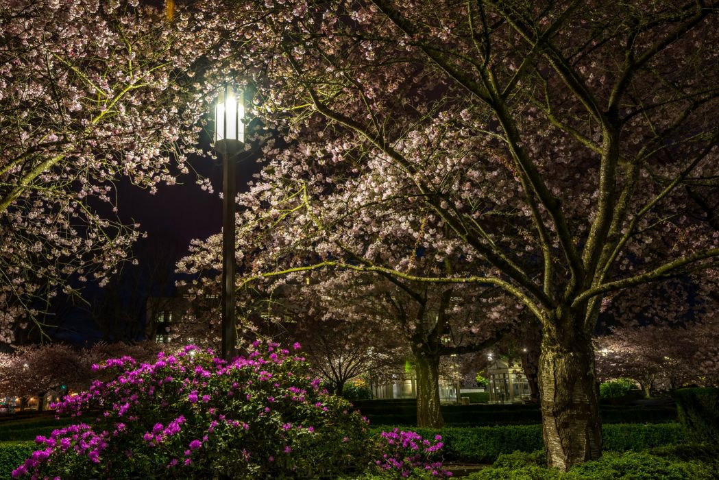Parks Flowering trees Rhododendron Night Street lights Trees Nature wallpaper