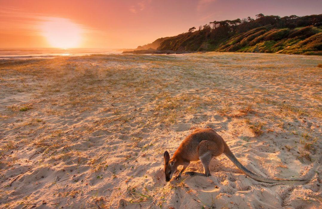 Kangaroo Beach Sand Nature wallpaper