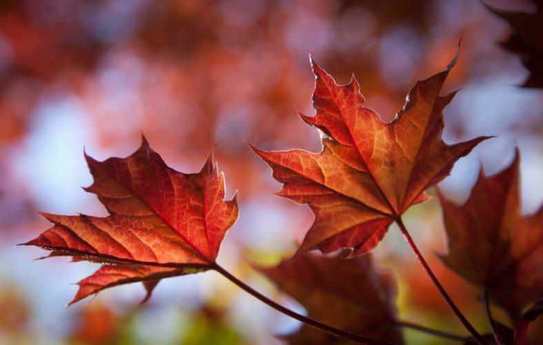 Closeup Foliage Maple Nature wallpaper