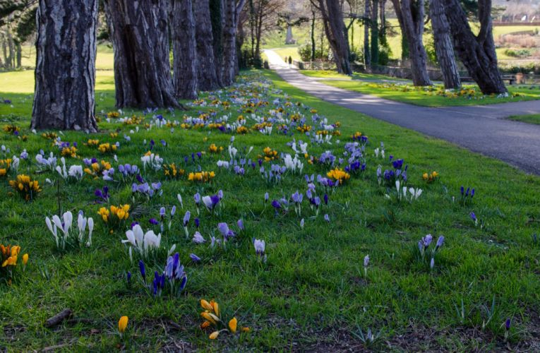Ireland Parks Crocuses Grass Cabinteely Park Dublin Nature wallpaper