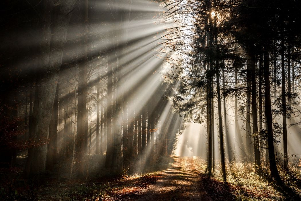 Forests Rays of light Trees Nature wallpaper