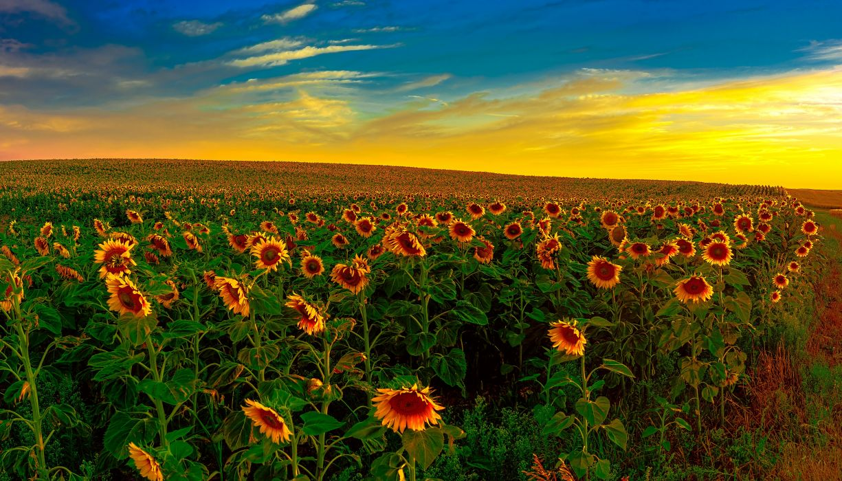 Fields Sunrises and sunsets Sunflowers Nature wallpaper