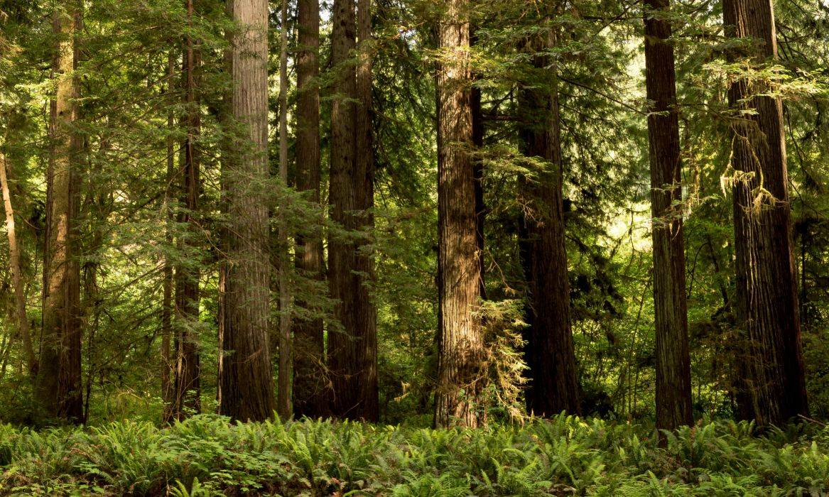 USA Parks Forests California Trunk tree Redwood National State Parks Nature wallpaper
