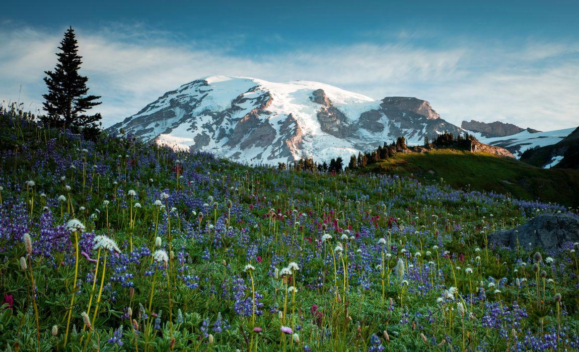USA Parks Mountains Dandelions Lupinus Grasslands Scenery Grass Mt Rainier National Park Nature wallpaper