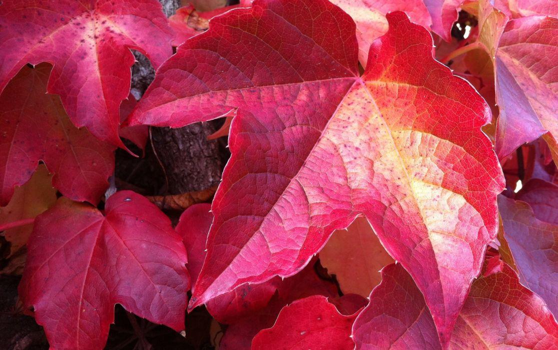 Closeup Foliage Red Nature autumn wallpaper