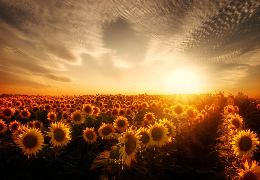 Fields Sunflowers Sky Sunrises and sunsets Nature wallpaper