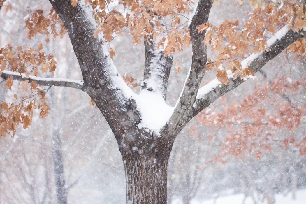 Winter Trunk tree Snow Nature wallpaper