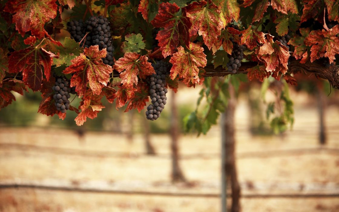 nature leaves blur vineyard grapes fruits landscape wallpaper
