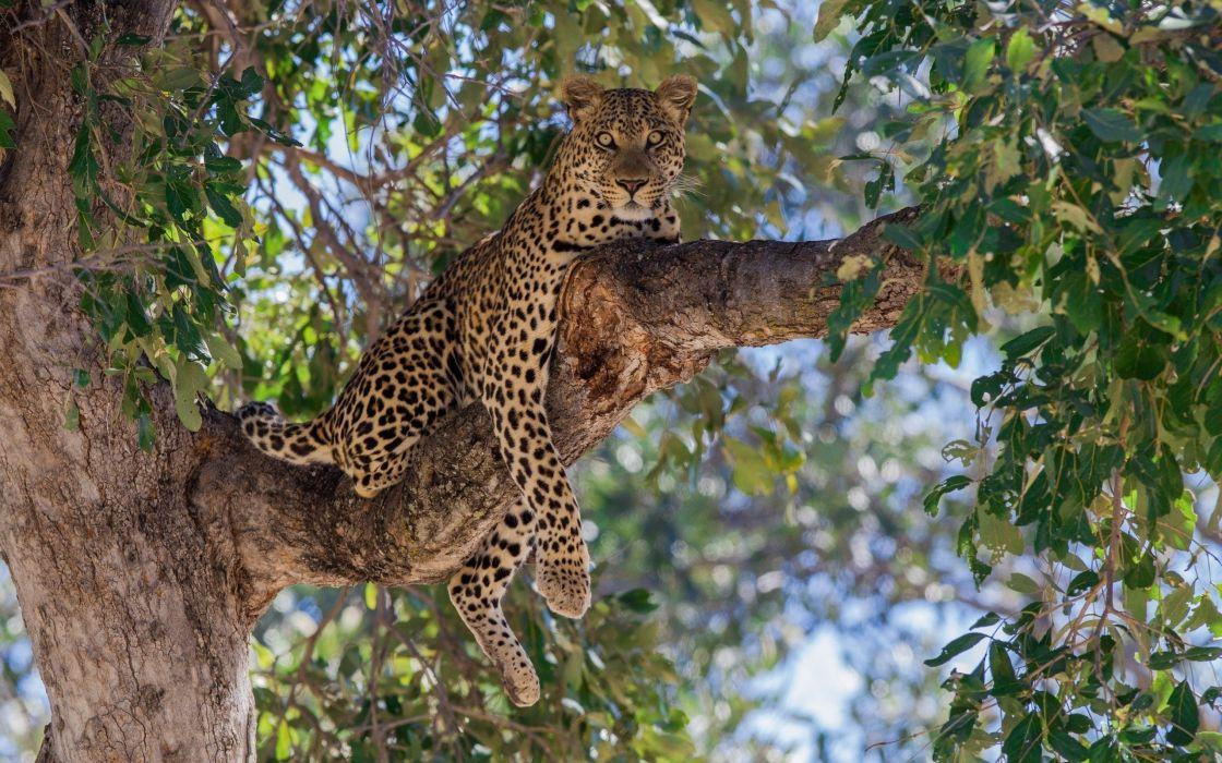leopard predator tree lie branch wallpaper