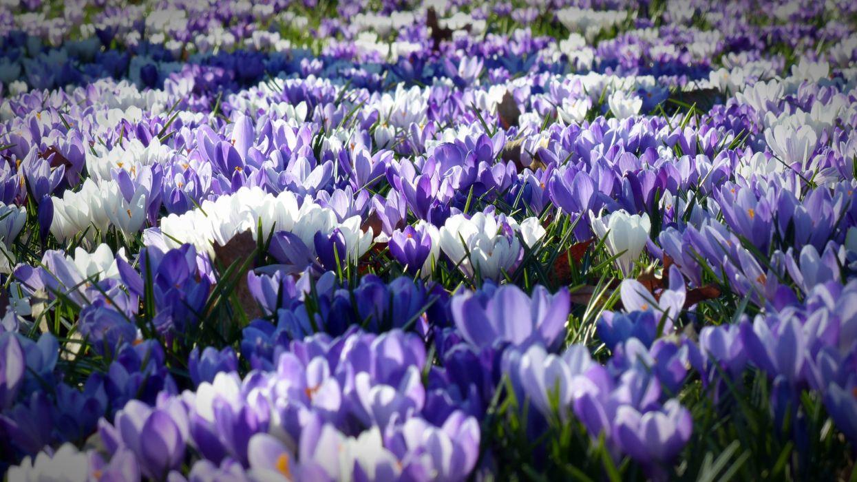 crocus garden flowers field wallpaper