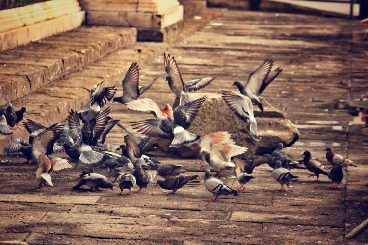 doves birds flock of birds city wallpaper