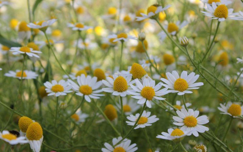daisies flowers summer field beautiful nature wallpaper