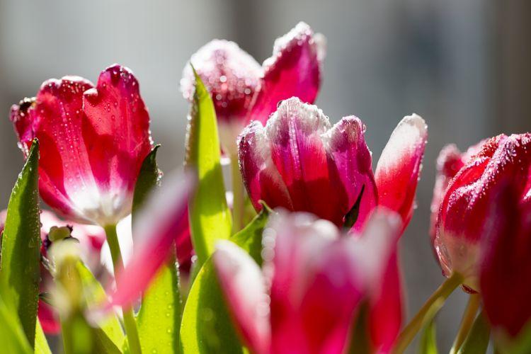 beautiful nature tulips flowers frost petals wallpaper