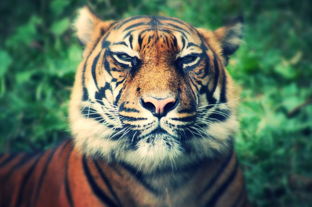 animal tiger predator muzzle eyes squint wallpaper