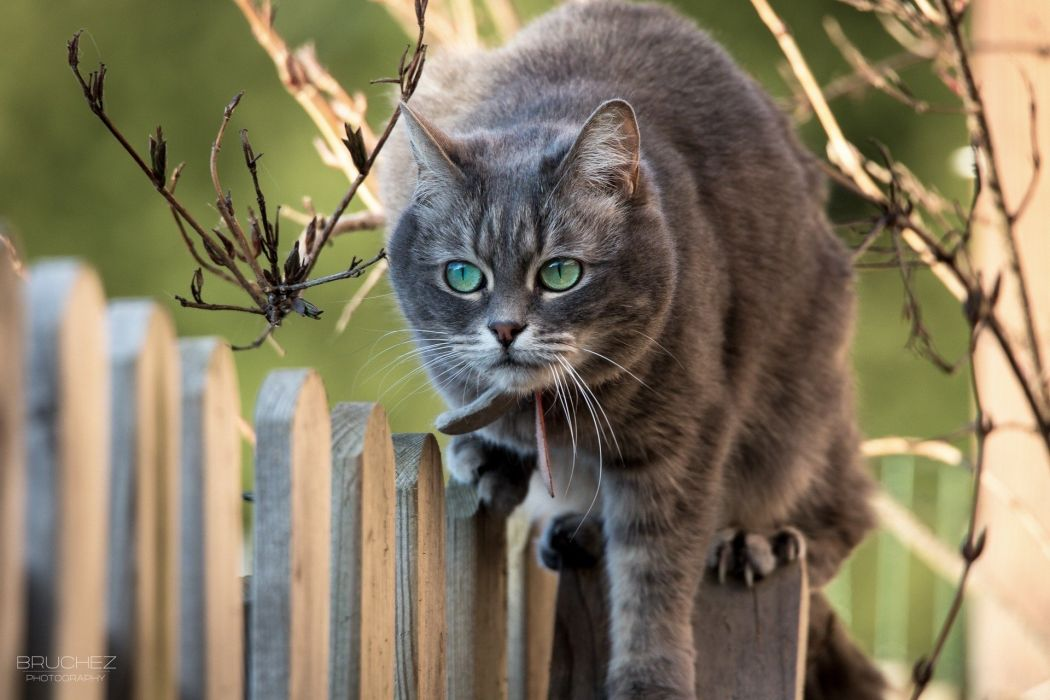 animal branches muzzle cat fence wallpaper