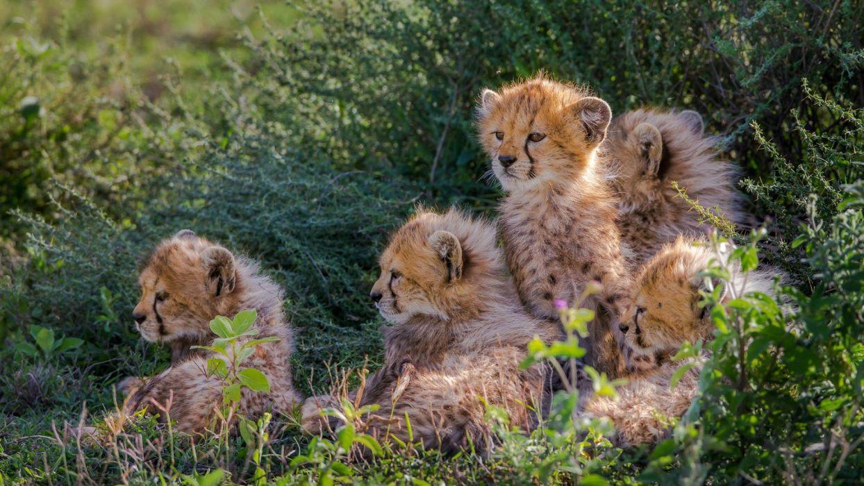 cachorros leopardo animales felinos wallpaper