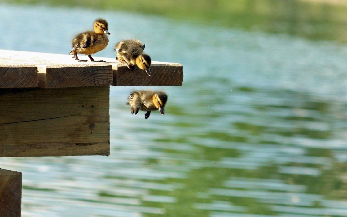 patos bebe salto agua animales wallpaper