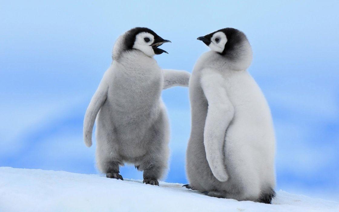 cria pinguinos artico animales hielo wallpaper