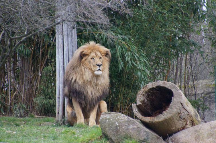 lion predator beast grass wallpaper