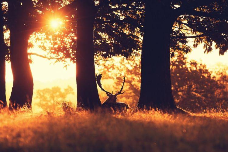 forest grass trees deer sun ray wallpaper