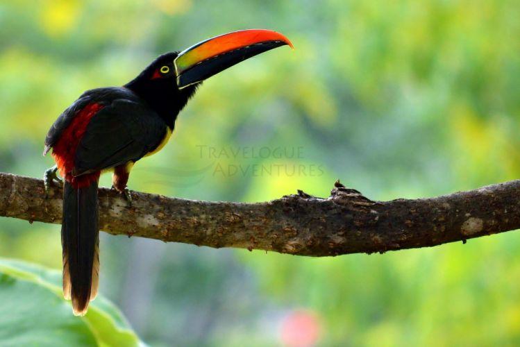 ave animales tucan selva wallpaper