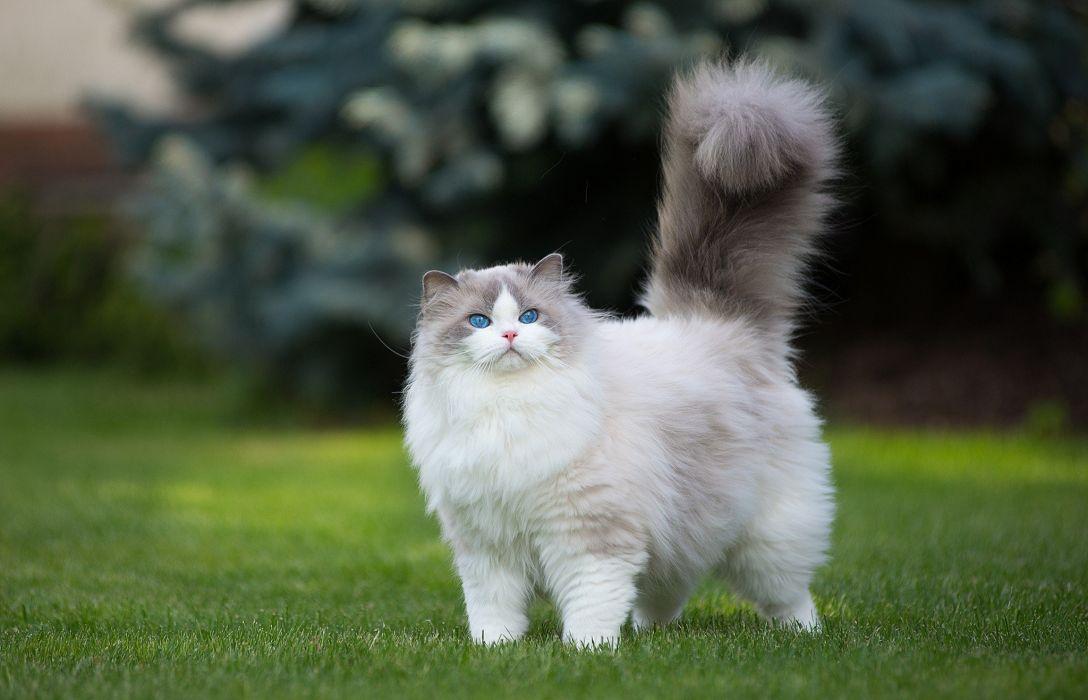 gato peludo animales jardin wallpaper