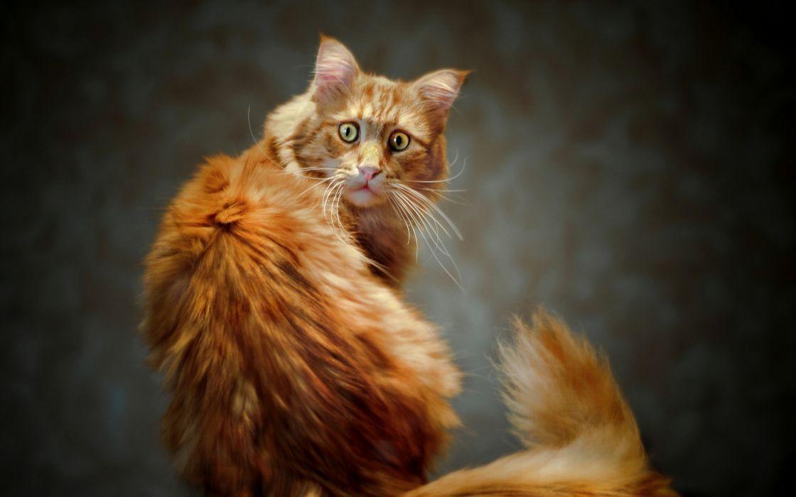 gato animales felino wallpaper