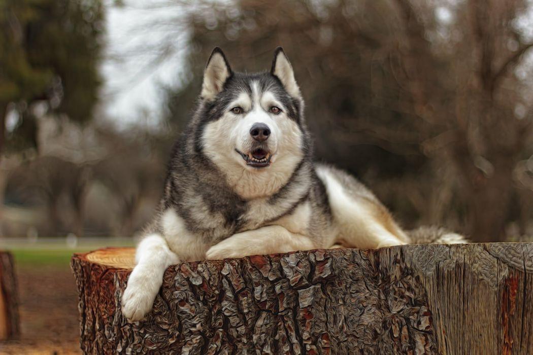 perro husky siberiano animales wallpaper