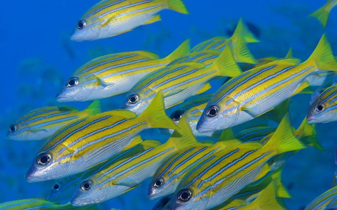 banco peces cirujano animales wallpaper