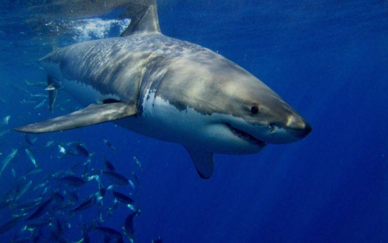 tiburon blanco mar animales wallpaper