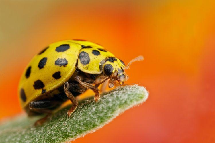 mariquita amarilla insecto animales wallpaper