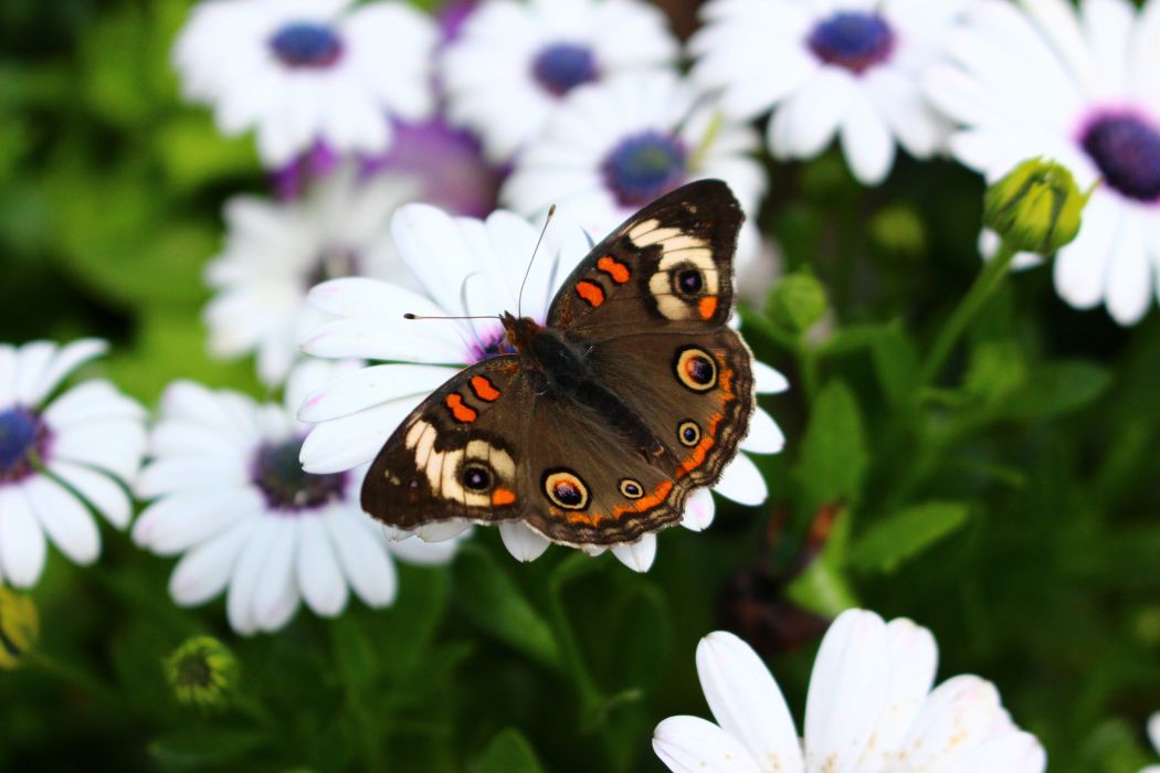 mariposa insectos flores animales wallpaper