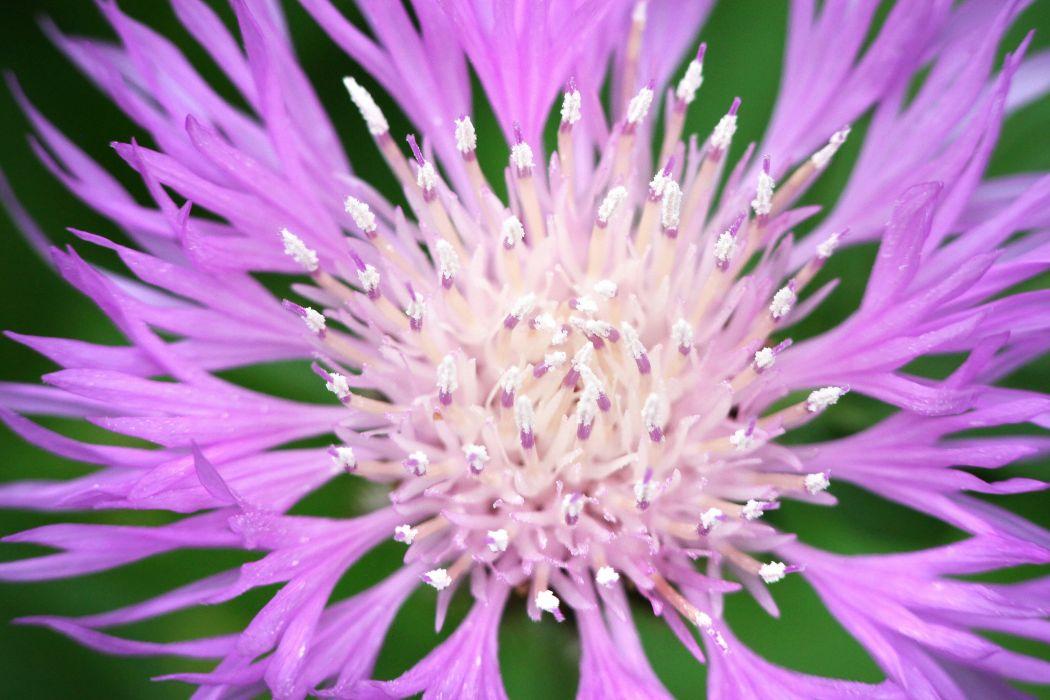 cornflower flower petals macro wallpaper