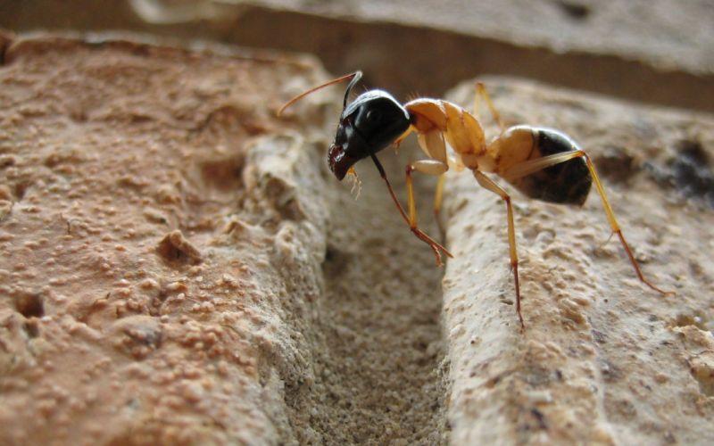 hormiga insecto animales wallpaper
