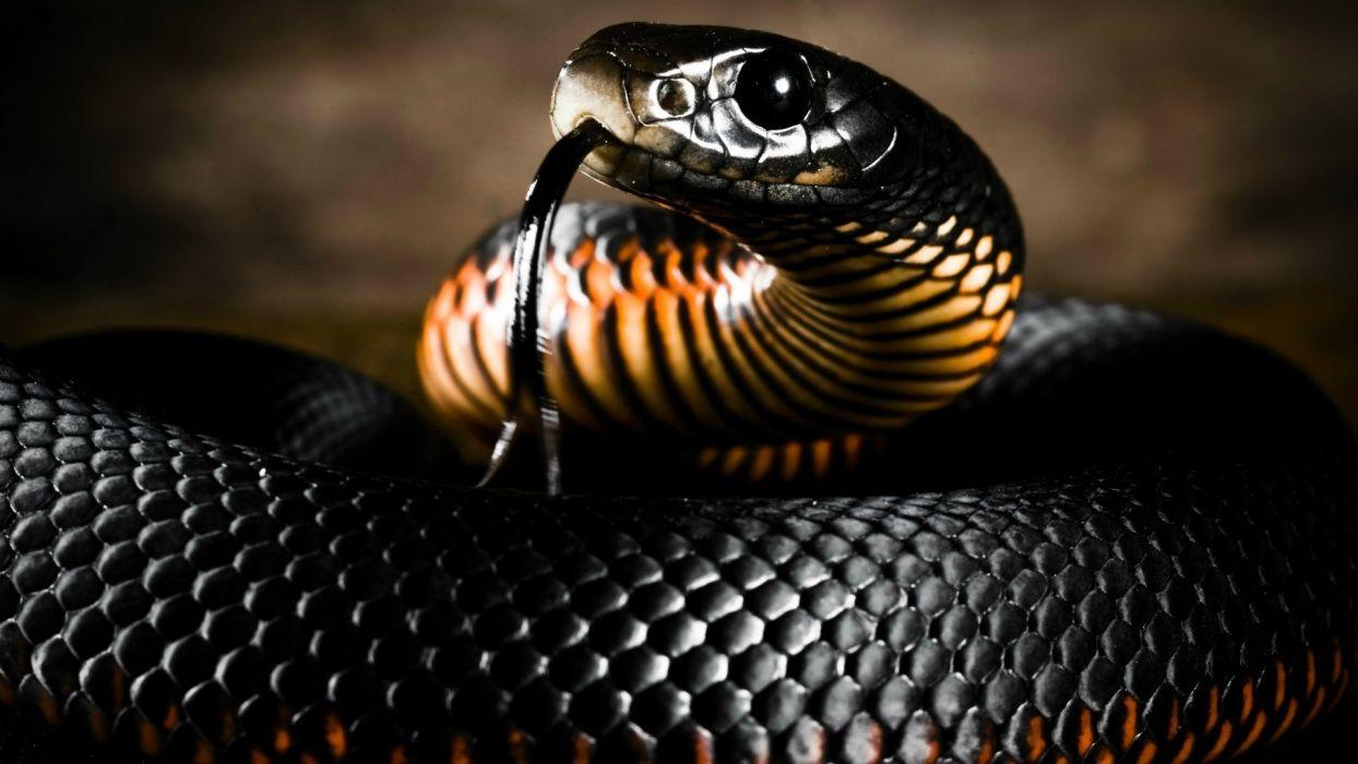 reptil mamba negra serpiente animales wallpaper